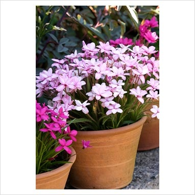 Rhodohypoxis in terracotta pots