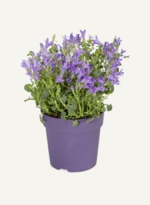 Campanula Pot Plant- 12cm height, Woolworths, R59.99
