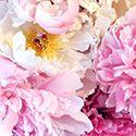 Shop Peonies | Peony Catalog | Herbaceous Peonies, Intersectional Peonies & Tree Peonies for Sale | Peony's Envy