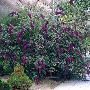 Butterfly Bush (Buddleia davidii) 'Black Night' - Don't fertilize or overwater. Do deadhead. In spring, very slow to break dormancy. 4 ft. high and wide. For full sun. (Good article.)