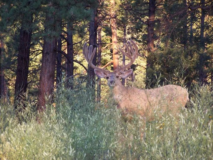 big+buck+pictures | Couple Of Los Alamos Area Bucks - Primos Cabin Chat