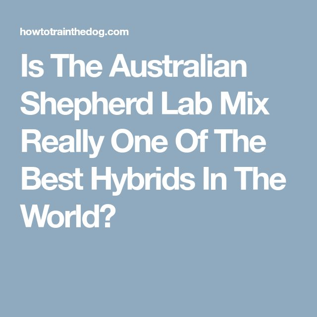 Is The Australian Shepherd Lab Mix Really One Of The Best Hybrids In The World?