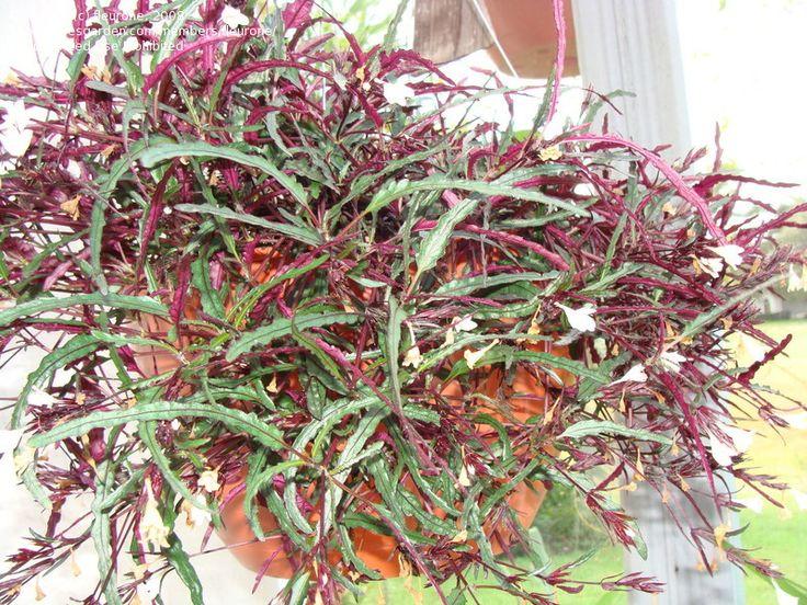 Dragon's Tongue (Hemigraphis repanda) a plant by many