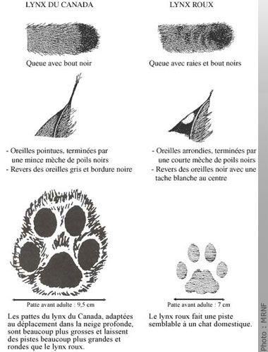 Principales différences entre le lynx du Canada et le lynx roux