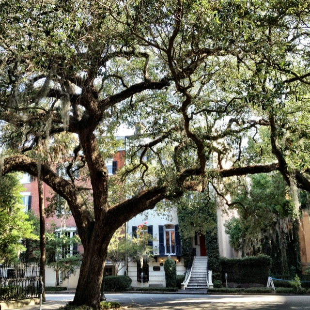 Majestic trees provide plenty of shade in the afternoon... #Savannah