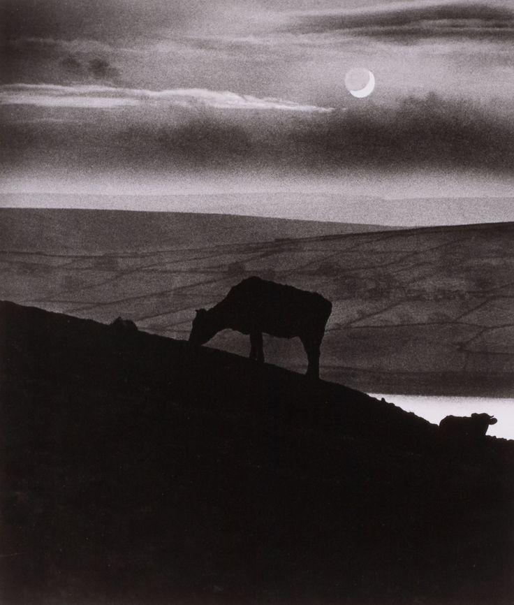 Untitled (Cows on hillside), Bill Brandt. (1904 - 1983)