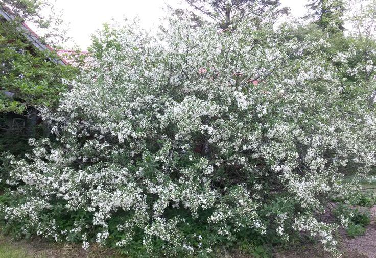 bukettapel buske