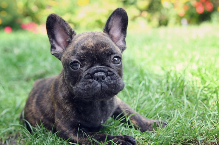FRENCH BULLDOG PUPPY! If only my sister wasn't scared...I'm adopting one the day I move into my own apartment.