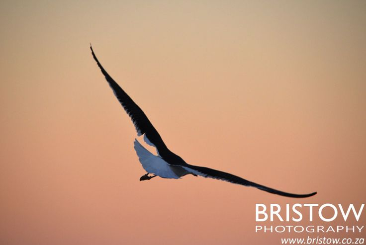 Seagull in flight, photographed by Bristow Photography. www.bristow.co.za