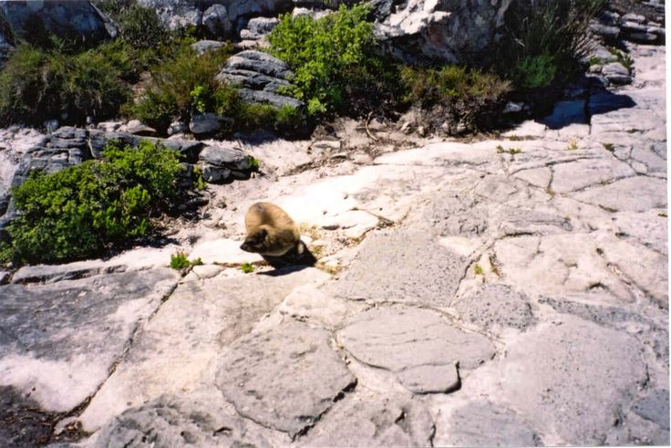 Dassie in Table Mountain,South Africa