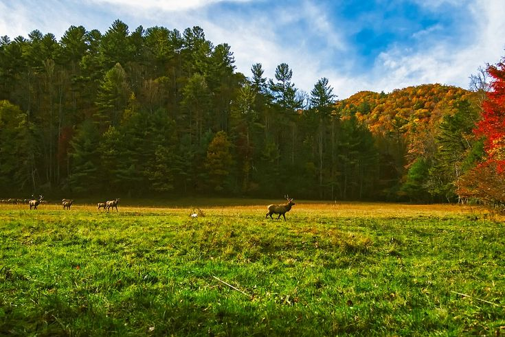 Severná Karolína, Lúka, Jeleň, Elk