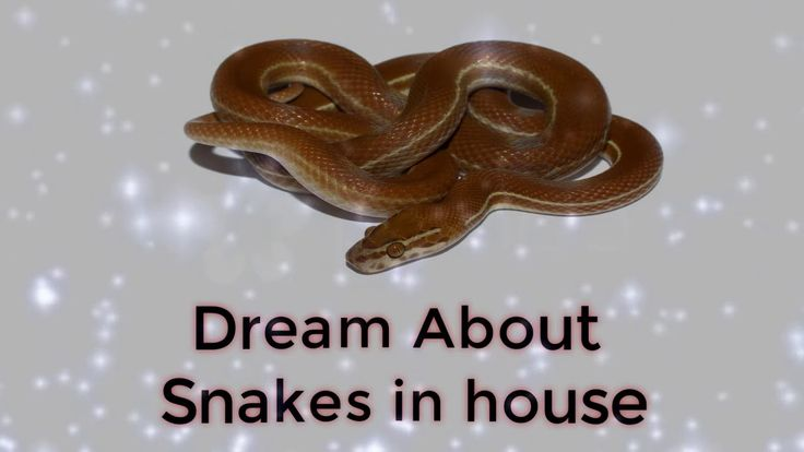 Dream about snakes in house   |  | Dreams Meaning and Interpretation