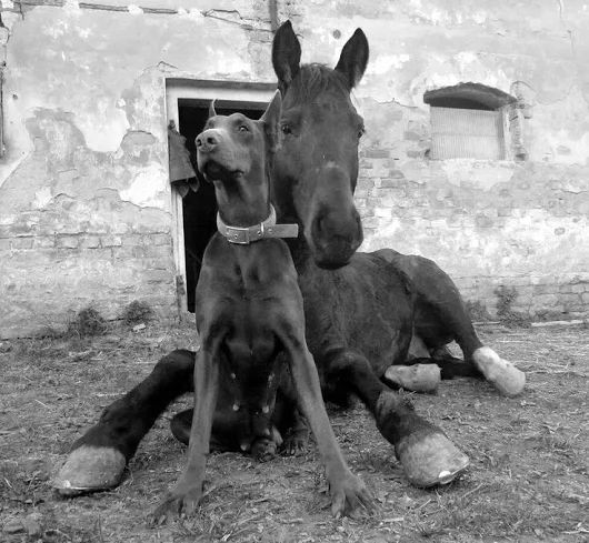 Horse and Doberman friends just chilling laying on the ground.