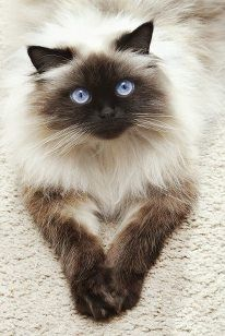 Male or female himalayan cat