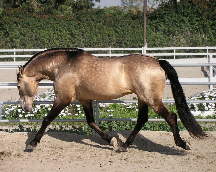 Lavrador, a buckskin Puro Sangue Lusitano stallion. Shows some faint sooty markings and dappling. Also has an eel stripe.