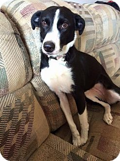 Pictures of PENNY a Whippet/Border Collie Mix for adoption
