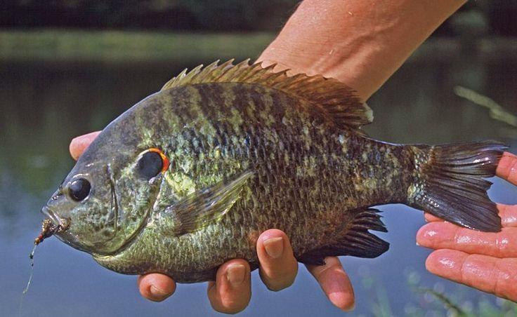 12 best freshwater fish images on pinterest fishing for Freshwater fishing tips
