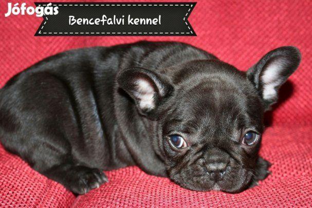 Minőségi Francia bulldog kölykök eladók: Minőségi francia bulldog kölykök eladók!!  6 hetesek  négyen várják  szerető gazdijelöltüket . Megfelelően oltva , féregtelenítve , minőségi tápon nevelkednek.Törzskönyvesek, szukák ára 170000ft