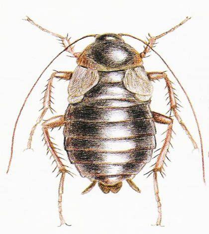 Rimedi naturali contro gli scarafaggi