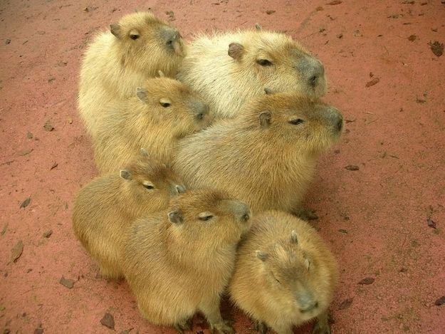 Capybara Family カピバラの仲良しスキルの高さ : ハムスター速報