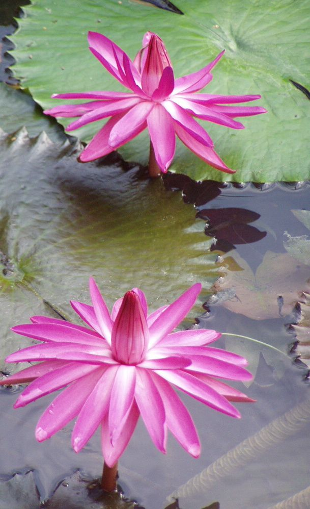 Lotosové kvety