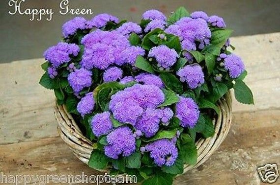 Special Mix Ageratum 2400 Seeds Floss Flower Dwarf Separate Three Colours In 2020 Seeds Seed Company Fish Chili