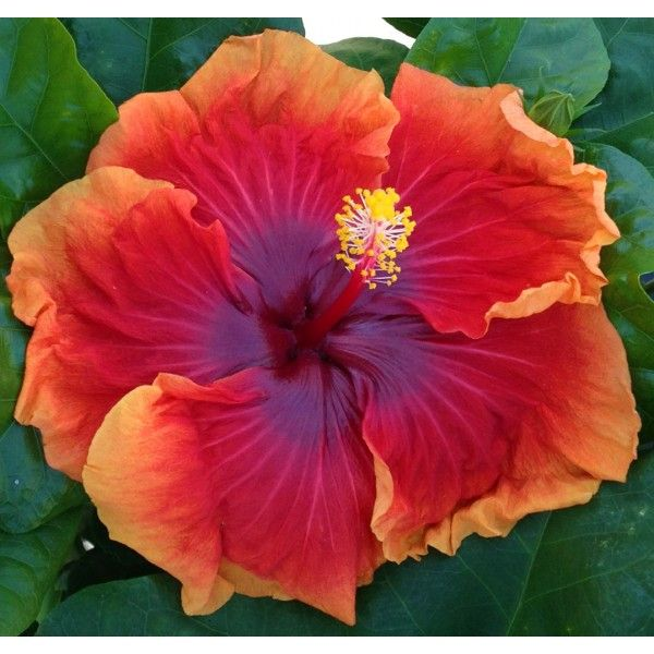 Hibiscus 'Imperial Dragon' (Hibiscus rosa-sinensis hybrid 'Imperial Dragon' is a showpiece in the garden because of its bold floral colors. The heart of the flower is vibrant purple. The petals are a rich salmon-orange and they have light orange, frilly petal edges.