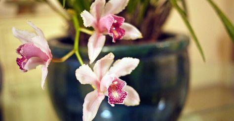 Regula generală și reguli speciale de udare corectă a orhideelor   Paradis Verde