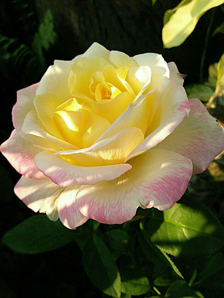 Enchanting Peace Rose to meditate on