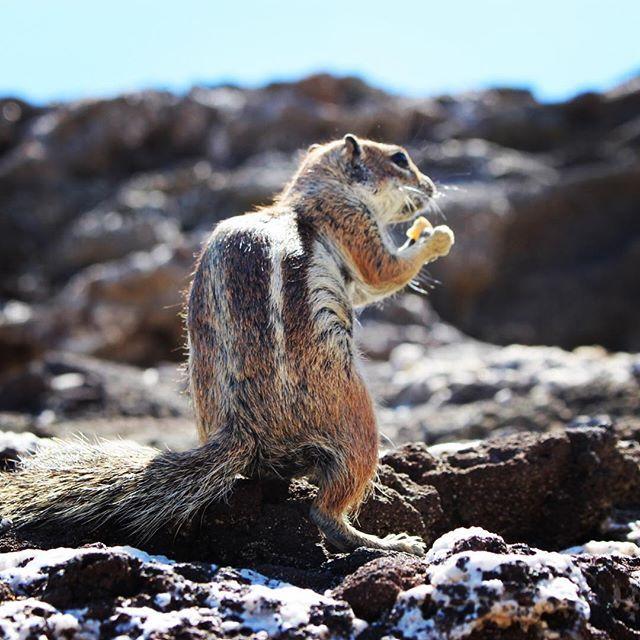#squirrel #costacalma #costacalmabeach #jandia #fuerteventura #canaryislands #funnyanimals