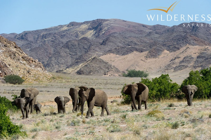 Doro Nawas Camp - it is amazing how such a barren and dry landscape can be home to elephant. The Doro Nawas area is home to a good number of desert adapted elephant with the two most common herds being the Oscar and Rosie Herd. #Safari #Africa #Namibia #WildernessSafaris