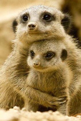 Mother meerkat clinging to her darling meerkat child