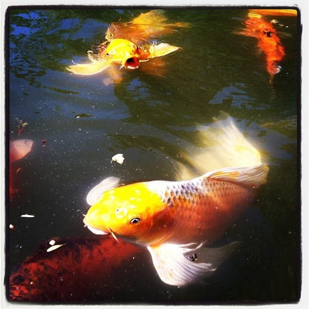 56 best koi images on pinterest koi ponds koi carp and for Koi fish dealers