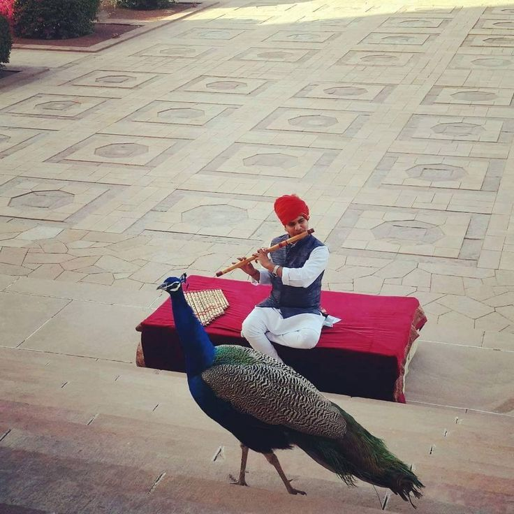Peacock walks by a musician in the courtyard