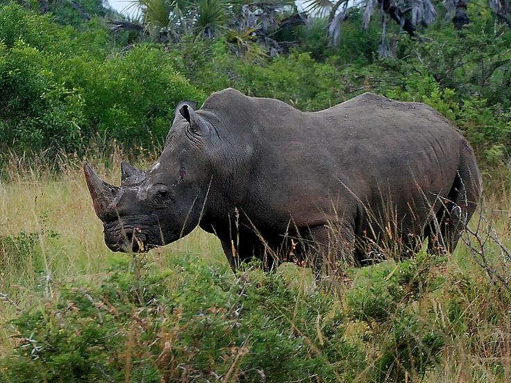 Our Rhino Bull