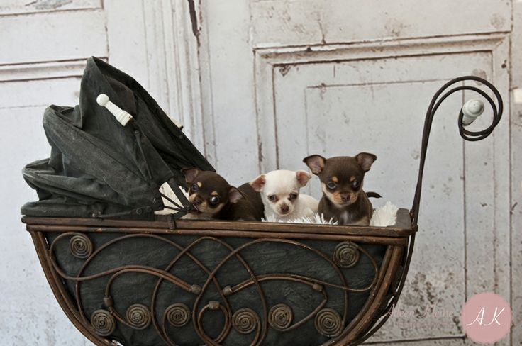 #chihuahua pups 7 weken oud.   http://www.aileenkleine.nl , http://www.kimbola.nl