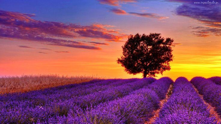 Lawenda, Drzewo, Zachód, Słońca