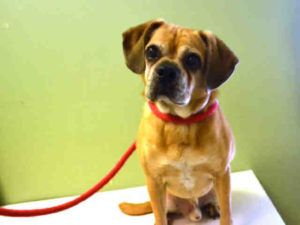 9/9     ●9•1•16 STILL THERE!●SUPER URGENT 8•28•16● NICHOLAI – A1087607 ☆11 YRS OLD☆ OWNER SURRENDER-  NEUTERED MALE, TAN, BEAGLE / PUG,