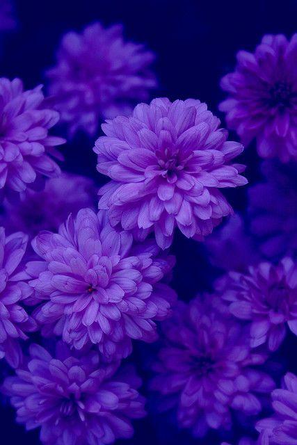 Midnight's Garden indigo purple blue flowers free creative ...
