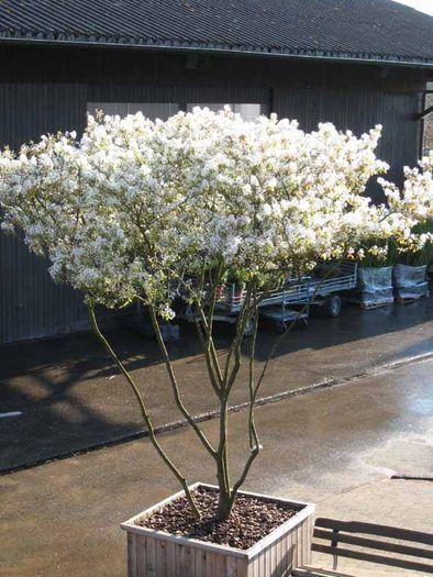 Amelanchier lamarckii | Felsenbirne | Schirmform | Pflanzen ...