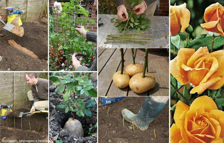 Comment faire pousser une bouture de rose grâce à une pomme de terre noté 5 - 1 vote Ce tuto vous permettra d'obtenir de beaux rosiers grâce à un peu d'huile de coude et quelques pommes de terre. Ce dont vous aurez besoin : – Un petit bout de terrain (si possible ensoleillé) sur lequel …