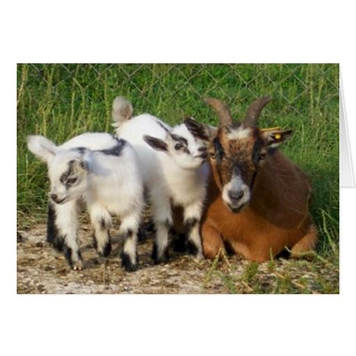 Best 25 Happy birthday goat ideas – Goat Birthday Card