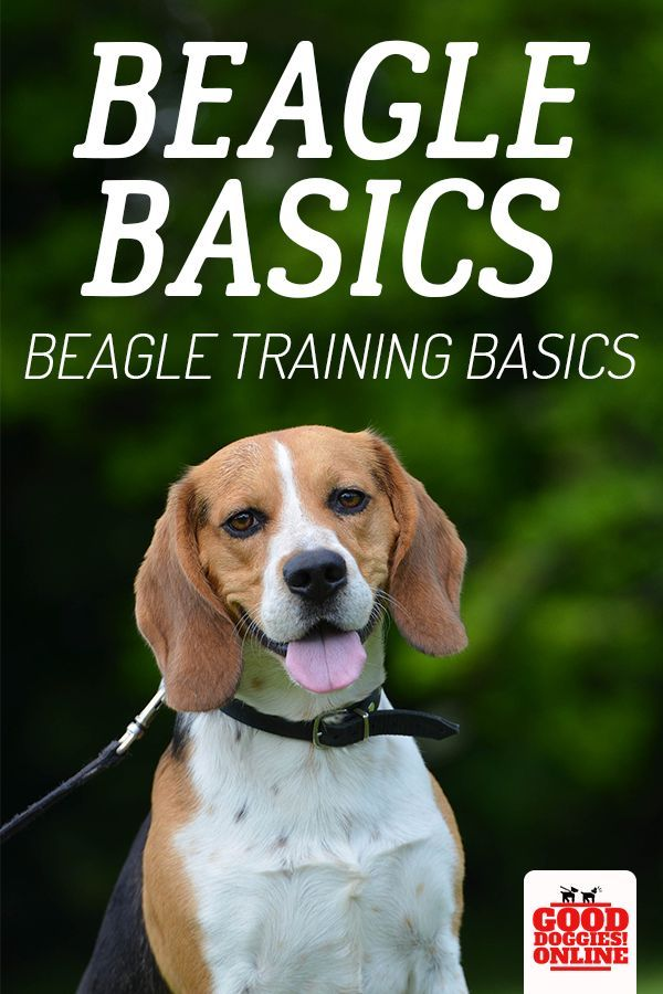 How To Train A Beagle Beagle Facts Dog Breeds Beagle Puppy
