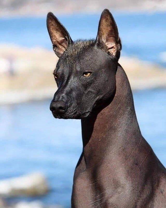 Xoloitzcuintli (Mexican hairless dog
