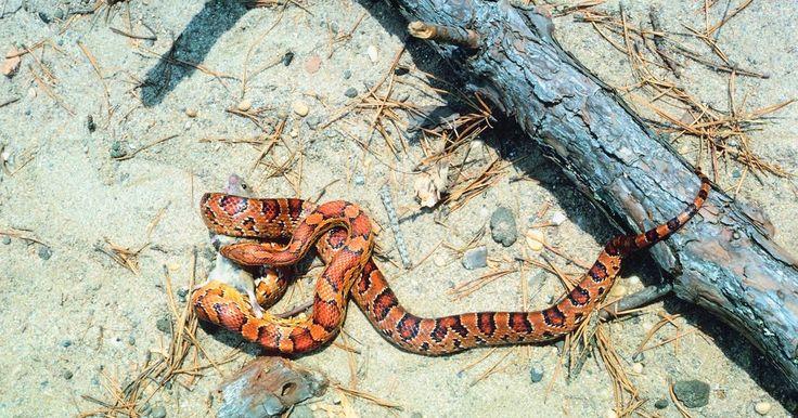 Cómo saber si las serpientes del maíz son machos o hembras. Las serpientes del maíz son especies de serpientes pequeñas populares como mascotas debido a su naturaleza dócil y carácter gentil. Originalmente encontrada a través de Norte América, la serpiente del maíz ahora puede ser encontrada en distintas partes del mundo debido a su popularidad en la industria de las mascotas. Distinguir si tu serpiente ...