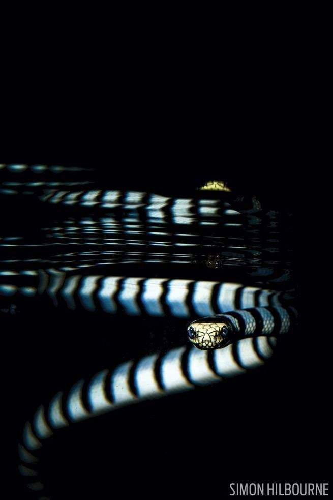 banded sea krait in Philippines