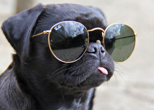 Pug wearing Ray Bans