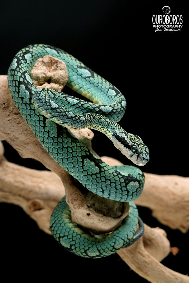˚Sri Lankan Palm Pitviper (Trimeresurus trigonocephalus) Are you poisonous, little Slytherin?