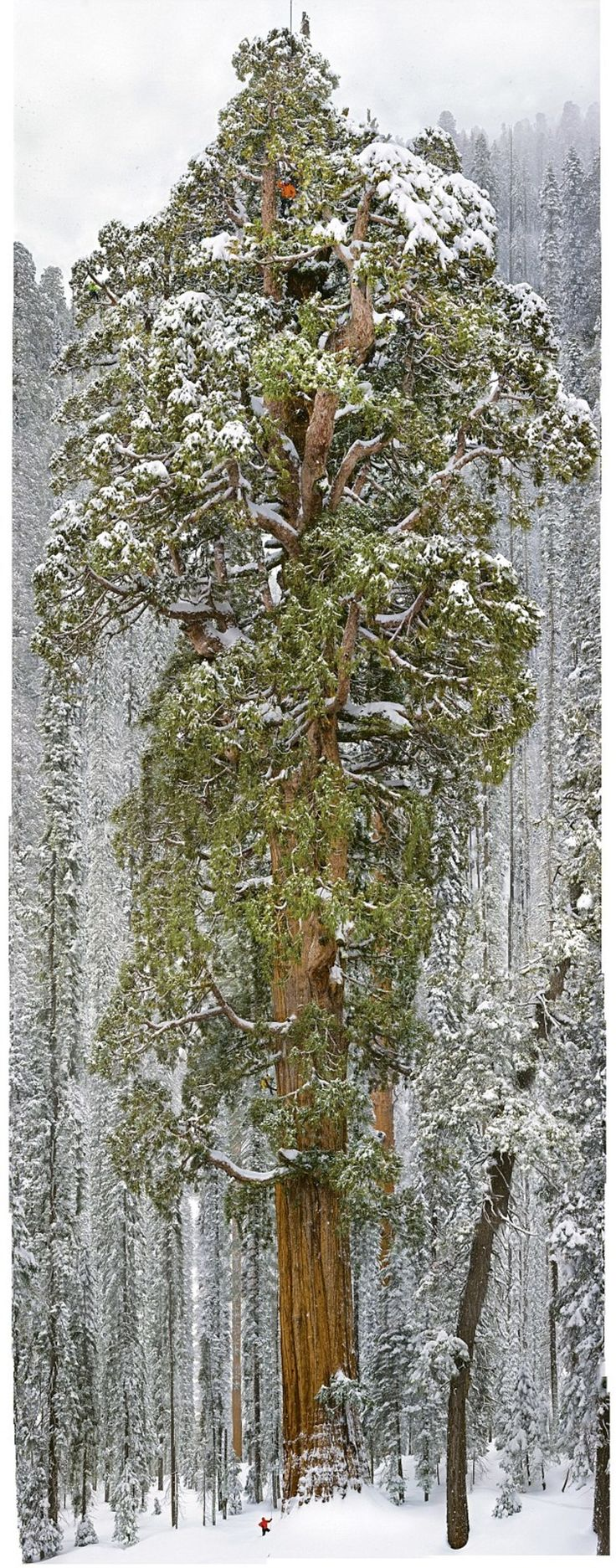 This 3,200 Year Old Tree Is So Massive... It's Never Been Captured In A Single Image