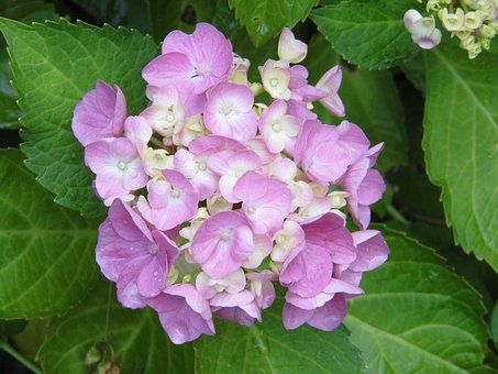 수 국, 꽃, 보라색, 장미 꽃잎, 수국